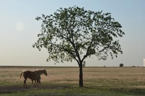 Kansas Horse