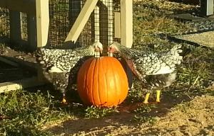 Chicks Pumpkin 1