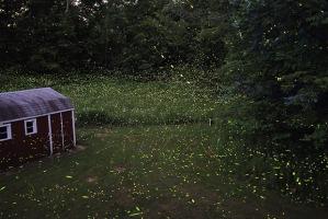 fireflies 2
